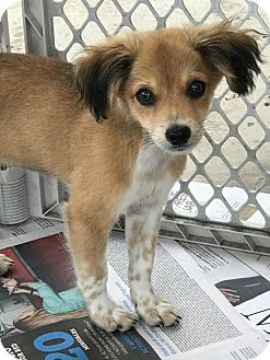 Dachshund Mix Puppy for adoption in Danbury, Connecticut - Sydney