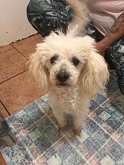 Poodle (Miniature) Mix Dog for adoption in Spartanburg, South Carolina - Pierre