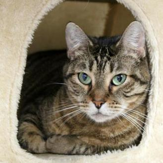 Domestic Shorthair/Domestic Shorthair Mix Cat for adoption in St. Petersburg, Florida - Sweet Pea