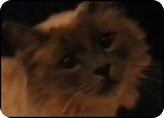 Domestic Longhair Cat for adoption in Alturas, California - Smokey