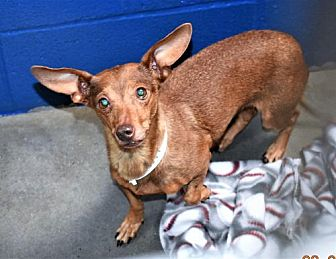 Dachshund Mix Dog for adoption in San Jacinto, California - Dachshund fem X