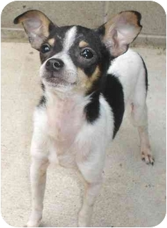 Chihuahua Mix Puppy for adoption in Lake Odessa, Michigan - Zoom