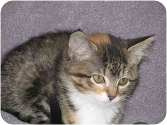 Domestic Shorthair Kitten for adoption in Owatonna, Minnesota - French