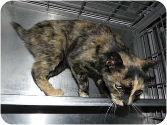 Domestic Shorthair Cat for adoption in El Cajon, California - Shelly