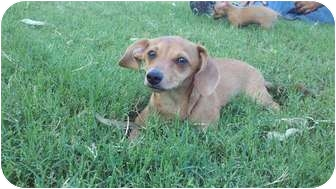 Dachshund/Chihuahua Mix Puppy for adoption in Scottsdale, Arizona - MIster