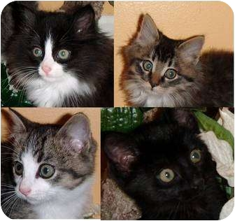 Maine Coon Kitten for adoption in Westland, Michigan - Froggy