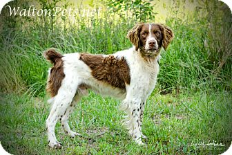 Brittany Dog for adoption in Monroe, Georgia - HANDSOME HUNTER