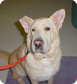 Shar Pei/Golden Retriever Mix Dog for adoption in Lockhart, Texas - Breezie