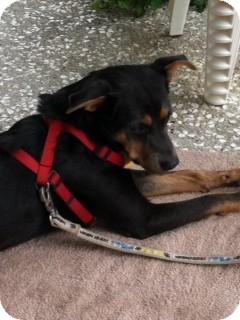 Shepherd (Unknown Type)/Labrador Retriever Mix Dog for adoption in Edisto Island, South Carolina - Cookie