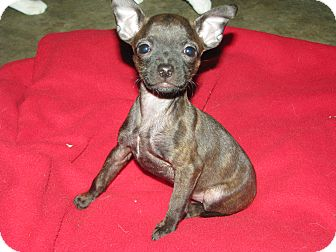 Boston Terrier/Chihuahua Mix Puppy for adoption in Somers, Connecticut - Bubbles - Such a character!