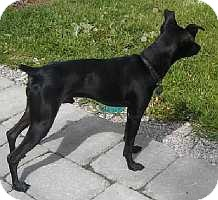 Miniature Pinscher Mix Puppy for adoption in Columbus, Ohio - Mikey