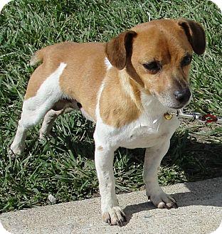 Jack Russell Terrier Mix Dog for adoption in Washington Court House, Ohio - Jack