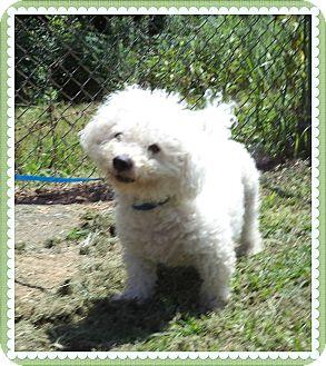 Bichon Frise Dog for adoption in Marietta, Georgia - HOUSTON