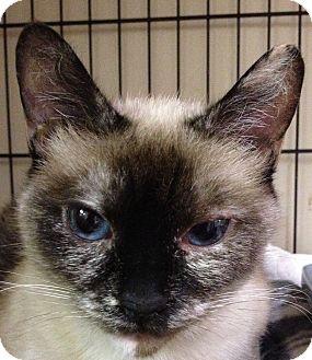 Siamese Cat for adoption in Maple Ridge, British Columbia - Tiffany