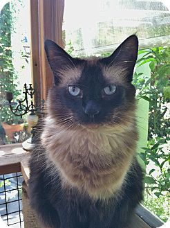 Ragdoll Cat for adoption in Davis, California - Storm
