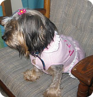 Yorkie, Yorkshire Terrier/Schnauzer (Miniature) Mix Dog for adoption in Prole, Iowa - Maggie