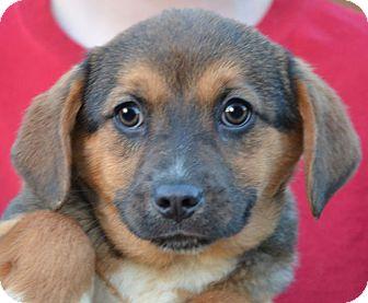 Labrador Retriever Mix Puppy for adoption in Allentown, Pennsylvania - Delta