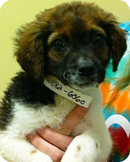 "Australian Shepherd/Beagle Mix Puppy for adoption in Oswego, Illinois - Easter Bunnies ""Cottontail"""