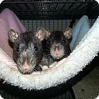 Adopt A Pet :: Two Black Selfs - Lakewood, WA