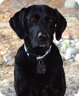 Labrador Retriever Dog for adoption in San Francisco, California - Guiness