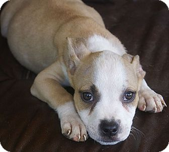 American Pit Bull Terrier/Pit Bull Terrier Mix Puppy for adoption in Allentown, Pennsylvania - Bo