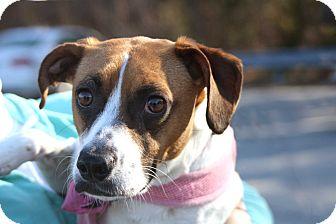 Beagle Mix Dog for adoption in Salem, New Hampshire - PRICILLA