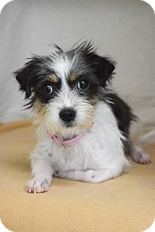 Terrier (Unknown Type, Small)/Chihuahua Mix Dog for adoption in Dublin, California - Molly
