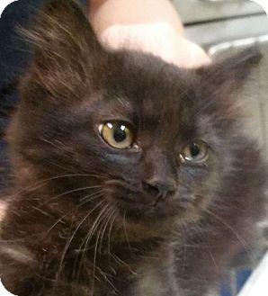 Domestic Longhair Kitten for adoption in Adrian, Michigan - Char