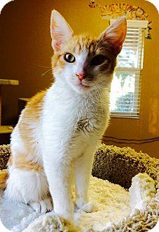 Domestic Shorthair Kitten for adoption in Santa Monica, California - ARCHIE