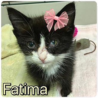 Domestic Shorthair Kitten for adoption in Wayne, New Jersey - Fatima