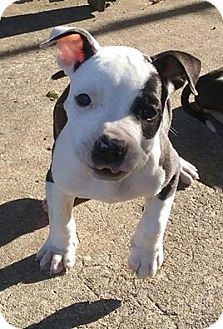 American Staffordshire Terrier/American Pit Bull Terrier Mix Puppy for adoption in North Olmsted, Ohio - Ebner