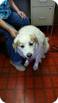 English Setter Dog for adoption in Paducah, Kentucky - Jake