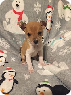 Miniature Pinscher/Chihuahua Mix Puppy for adoption in Hazard, Kentucky - Marlo and Monte