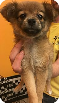 Chihuahua Mix Puppy for adoption in Boca Raton, Florida - Tiffie