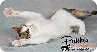 Domestic Shorthair Cat for adoption in Broadway, New Jersey - Patches