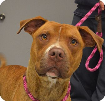 American Staffordshire Terrier Mix Dog for adoption in Martinsville, Indiana - Serena