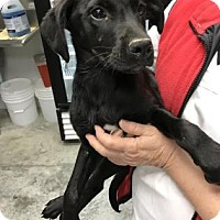 Adopt A Pet :: Cheesepuff - Paducah, KY