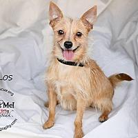 Adopt A Pet :: Carlos - Shawnee Mission, KS