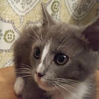 Domestic Shorthair Kitten for adoption in Oviedo, Florida - Ashley