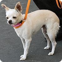Adopt A Pet :: Pumpkin - Palmdale, CA