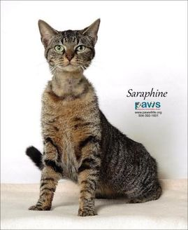 Domestic Shorthair/Domestic Shorthair Mix Cat for adoption in Belle Chasse, Louisiana - Saraphine
