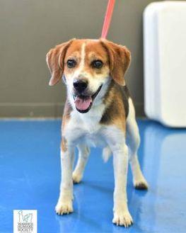 Beagle Mix Dog for adoption in Newburgh, Indiana - Ansel