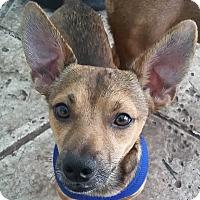 Adopt A Pet :: Bobo! 14lb Heartmelter! CALM - St Petersburg, FL