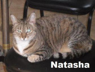 Domestic Shorthair/Domestic Shorthair Mix Cat for adoption in Staley, North Carolina - Natasha
