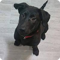 Adopt A Pet :: Pongo - Iowa, Illinois and Wisconsin, IA