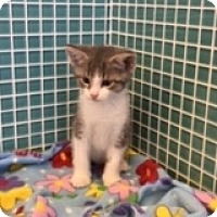 Domestic Shorthair Kitten for adoption in Sylvan Lake, Michigan - Shadow