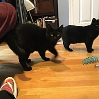 Adopt A Pet :: Zoey (Bonded Pair!) - Somerville, MA