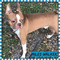 Adopt A Pet :: Miles Walker aka Wheatley FL - Various Cities in the entire Southeast, TN