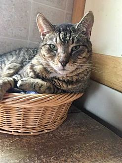 Domestic Shorthair Cat for adoption in Harleysville, Pennsylvania - Captain America (FeLV+)