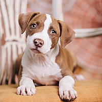 Adopt A Pet :: Trace - Portland, OR